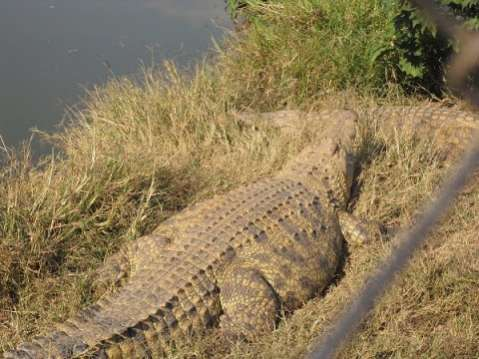 12 year old girl killed by a crocodile on Zambezi river ...