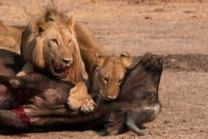 Lion Luangwa - pix  by Egil Droge