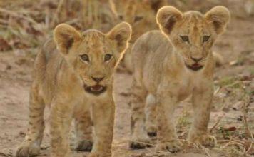 Lion cubs - South Luangwa