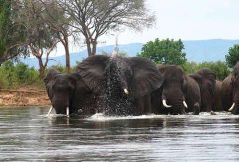 White Gold' on the Black Market: Elephants Slaughtered for
