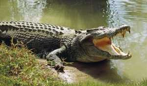 Swimmer snatched by killer crocodile