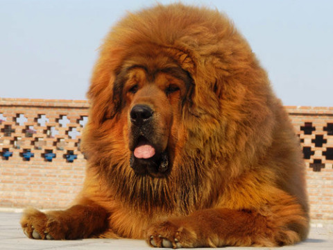 Chinese zoo's 'African lion' exposed when dog substitute ...