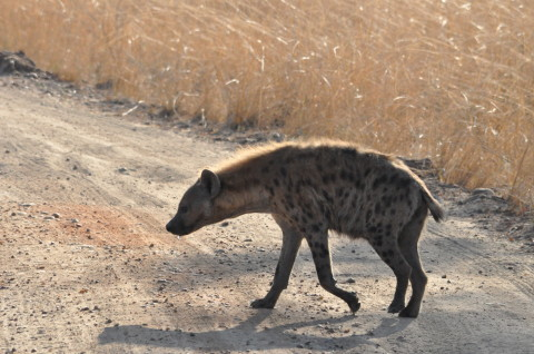Hyena Animal Zambia South Luangwa Wildlife