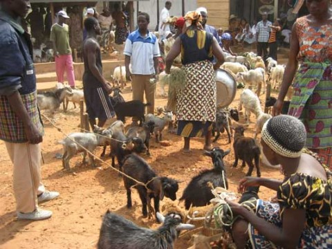 goats at a market