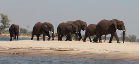 Elephants crossing the Lower Zambezi River