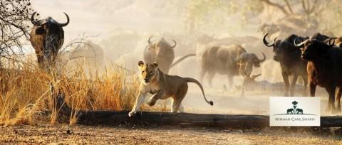 Norman Carr Safaris - Lion.jpg