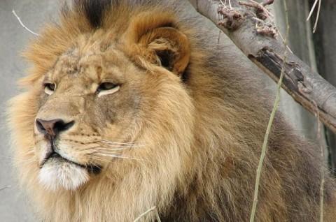 lion endangered