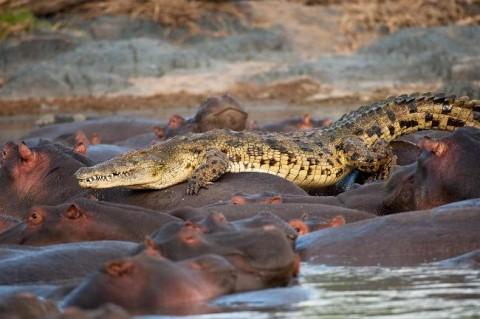 Angry Hippos Attack Crocodile