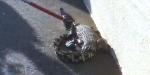 Crocodile found roaming California mall