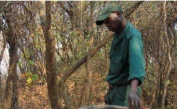 Wildlife Scout Elias Phiri with the sable carcass