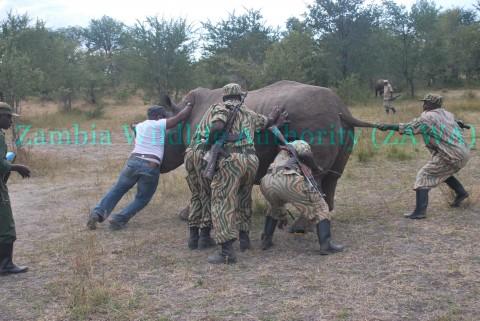 Mosi-Oa-Tunya National Park pregnant Rhino, Inonge Rescued