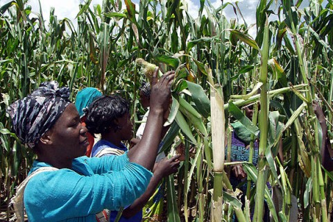 Workers tend to the maize crops on Millers Farm Lusaka, in Zambia, March 17, 2003. An initiative from the International Fund for Agricultural development helps female farmers in Zambia with HIV raise goats. Salim Henry:AP:File
