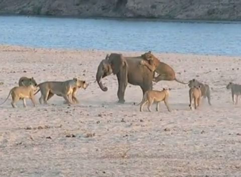 Baby elephant fights off pack of vicious lions
