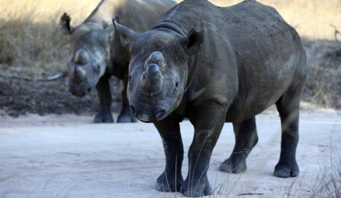 A pair of black rhinoceros PHILIMON BULAWAYO:REUTERS