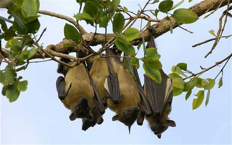 straw-colored fruit bats zambia - Photo Credit Telegraph.co.uk