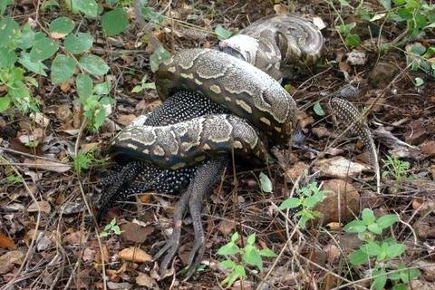 THE SNAKE, THE GUINEA FOWL