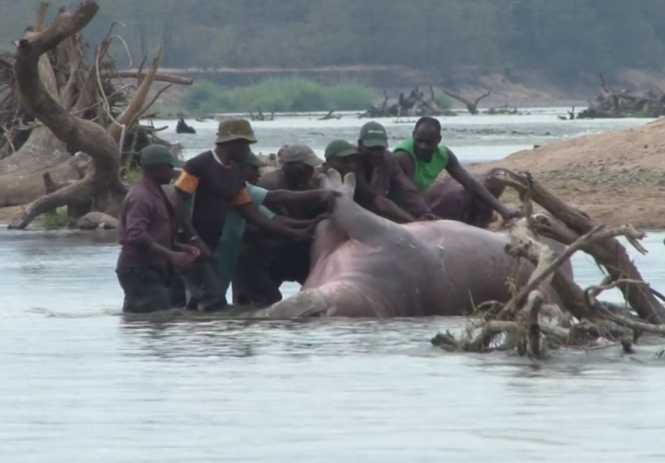 Hippo Hunting in Zambia