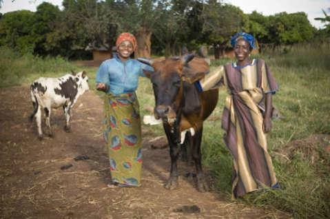 cattle cow livestock
