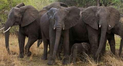 elephants Luangwa