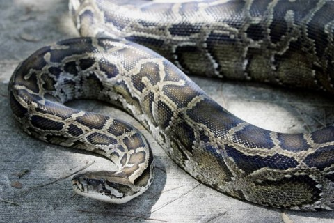 The United States Assn. of Reptile Keepers has filed suit against the Department of the Interior seeking to overturn a ban on Burmese pythons, pictured here, and three other species of large snakes. (Robert Sullivan / AFP/Getty Images / October 10, 2005)