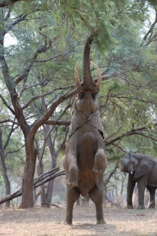 Elephant reaches up on two legs for the top branches. Photo by Nancy Bareilles