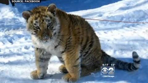 John Basile took his tiger cub for a walk through downtown Lockport, Ill.