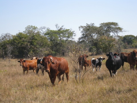 cattle milk