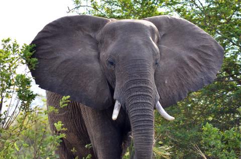 elephant in the Lower Zambezi National Park.jpg