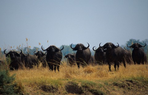 Buffalo in North Luangwa National Park