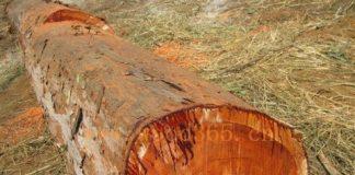 Mukula tree timber