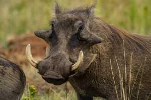warthog,