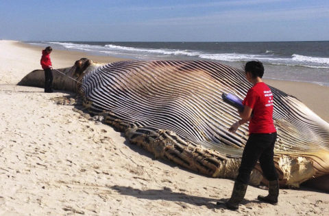 In this photo provided by The Riverhead Foundation, authorities investigate the death of a 58-foot finback whale that washed ashore on an eastern Long Island beach in Shirley, N.Y., Thursday, Oct. 9, 2014.