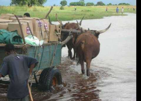 ECZ announced that ballot materials would be delivered to some polling station by Ox-cart due to flooding and heavy rains that made it impossible to use alternative transport..jpg