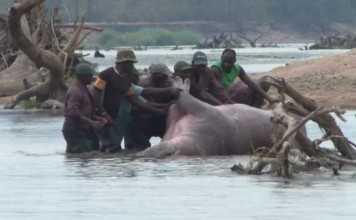 Hippo Hunting in Zambia